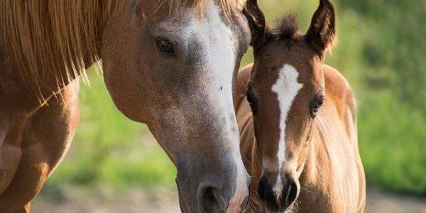 foal-3467629_640