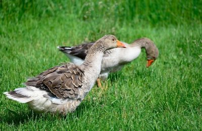 geese-4594508_640