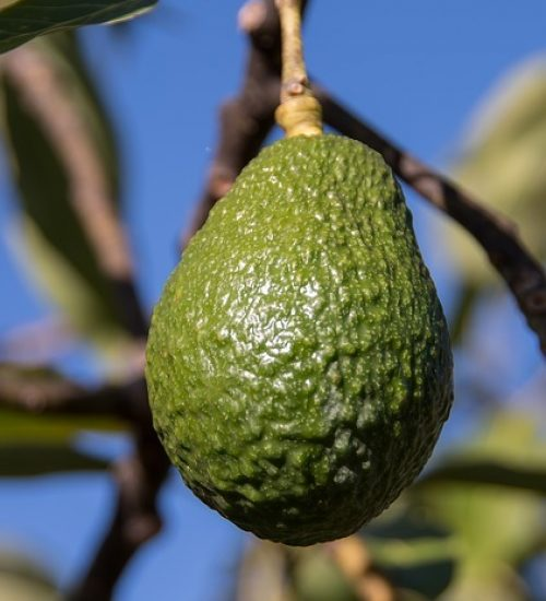 hass-avocado-2685817_640