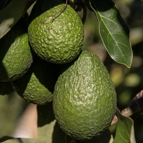 hass-avocado-2685821_640