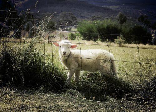 lamb-451982_640