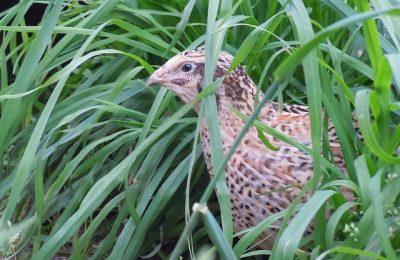 quail-2146317_640